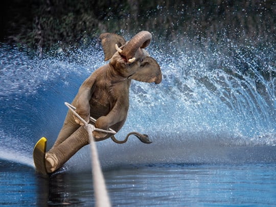 Animal Competitions: Real or Fake? - 2 - Elephant Water Skiing