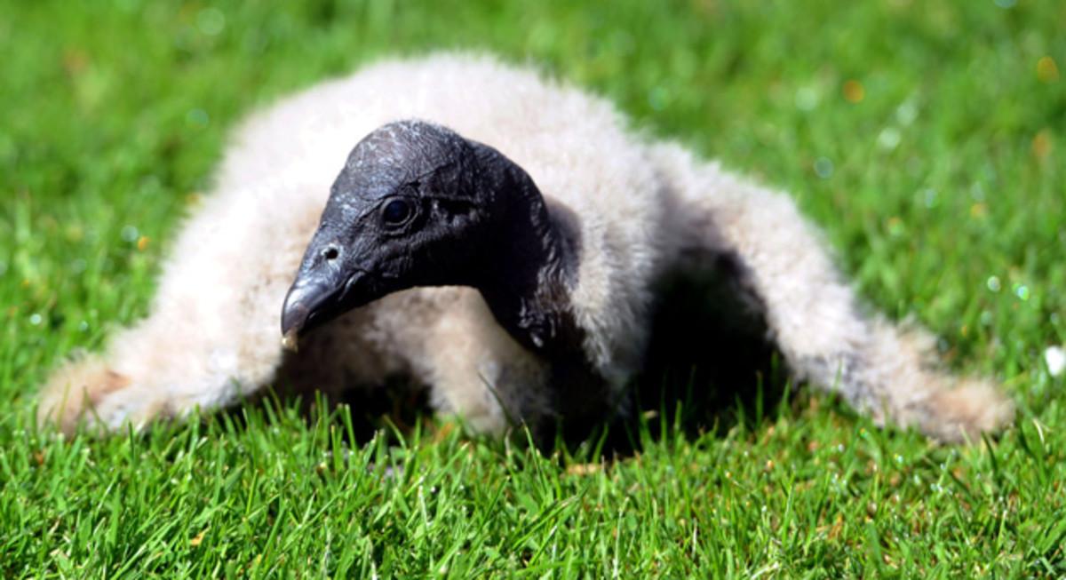 A baby condor.